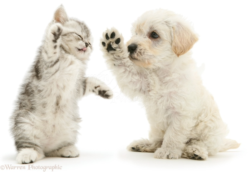 16066-Woodle-puppy-and-kitten-boxing-white-background