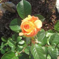 Companion Garden Planting